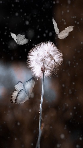 Бабочки на одуванчике