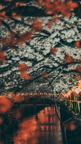 Сакура в ночи